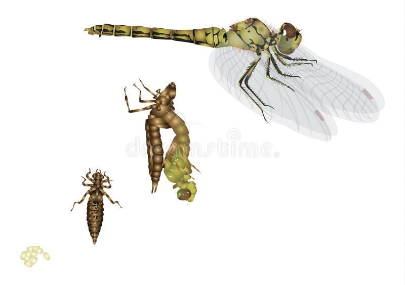 蜻蜓的生命周期 皇族释放例证