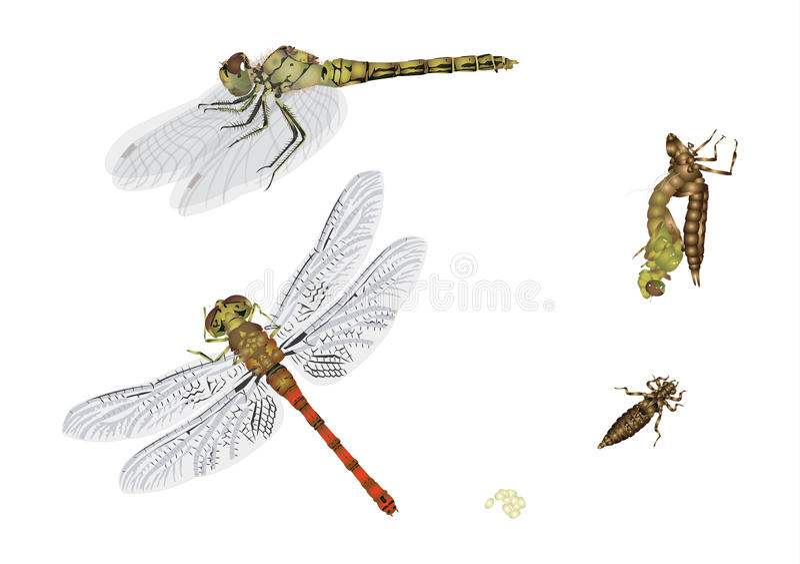 蜻蜓的生命周期 向量例证