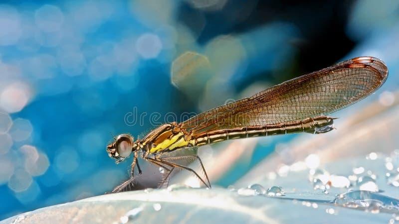 黑蜻蜓的锋利的sideview图象 库存图片