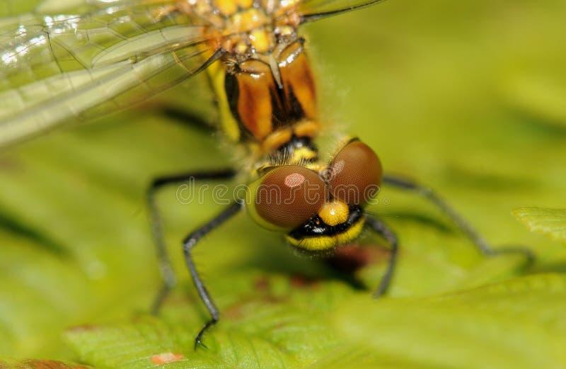 蜻蜓的头 免版税库存图片