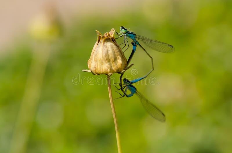 蜻蜓联接 免版税库存图片