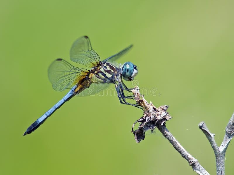 蜻蜓蓝色Dasher 库存照片