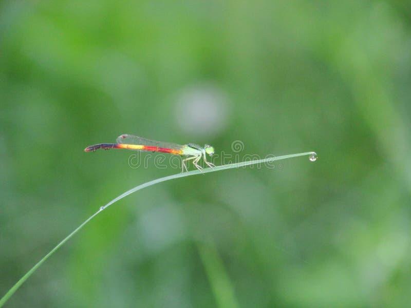 蜻蜓,强和精美支持 免版税库存图片