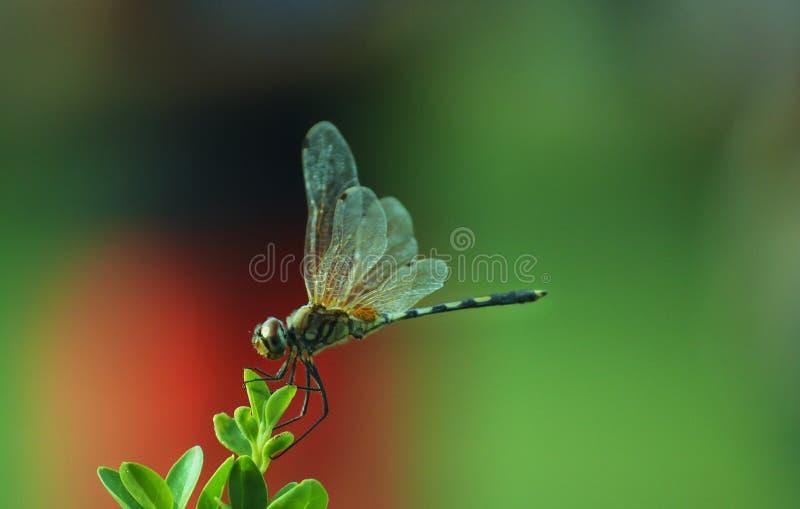 蜻蜓,绿色背景 免版税库存图片