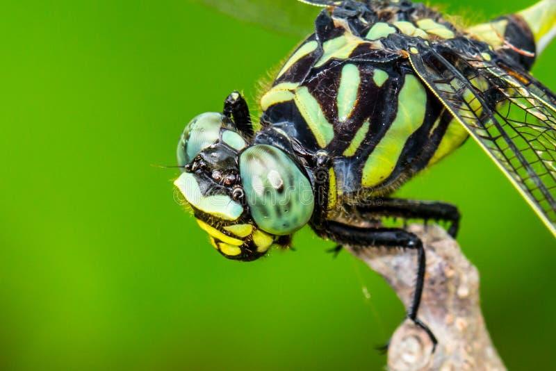 蜻蜓头 免版税库存图片