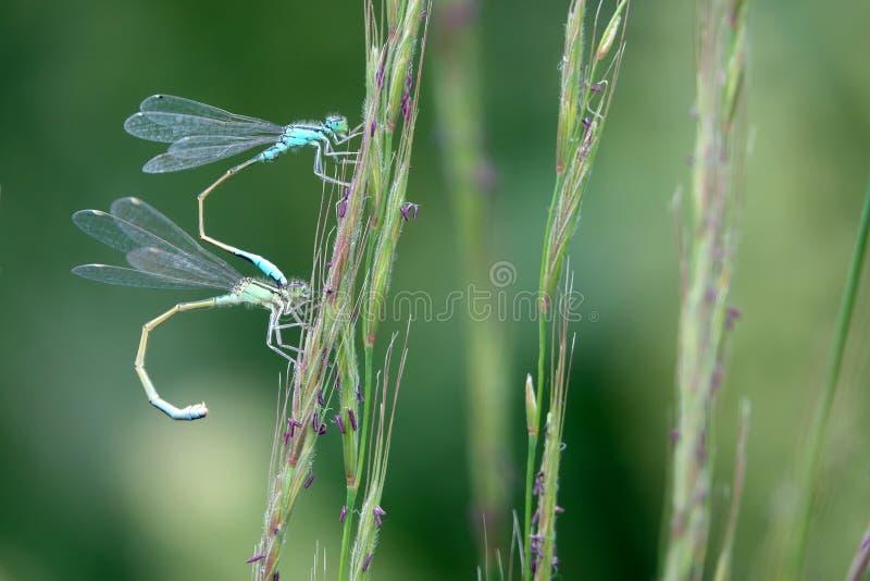 Download 蜻蜓 库存照片. 图片 包括有 生活, 建立, 通配, 野生生物, 昆虫, 蜻蜓, 配对, 联结, 茴香 - 72352704