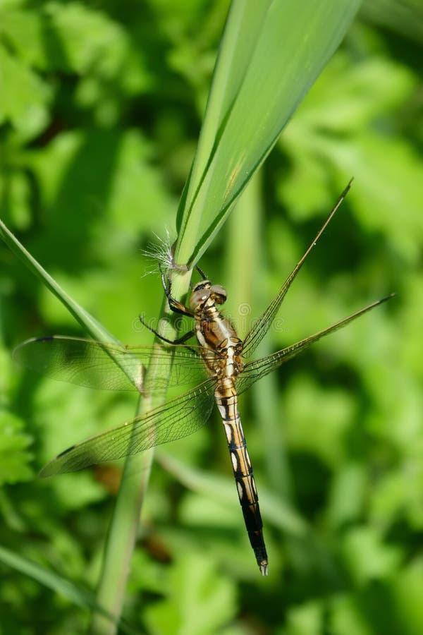 Download 蜻蜓 库存图片. 图片 包括有 茴香, 芦苇, 无脊椎, 生活, 野生生物, 飞行, 叶子, 通配, 节肢动物 - 72353299