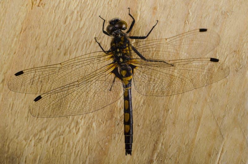 Download 2蜻蜓 库存图片. 图片 包括有 飞行, 重婚, 呈虹彩, 的百威, 查出, 环境, 滤网, 脆弱, 塞西莉亚 - 72354855