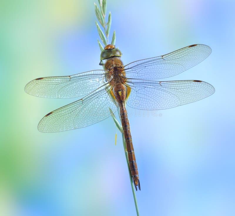 蜻蜓Aeshna isoceles 免版税库存图片