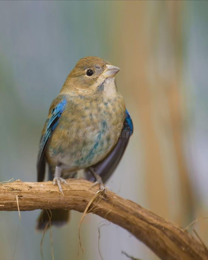 蜕变的未成熟的男性靛青鸟, Passerina cyanea 免版税库存图片