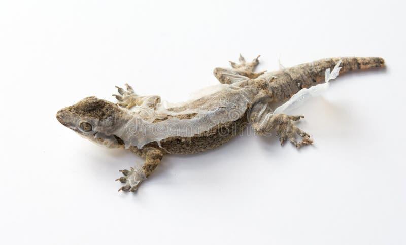 蜕变老皮肤的蜥蜴的关闭 库存图片