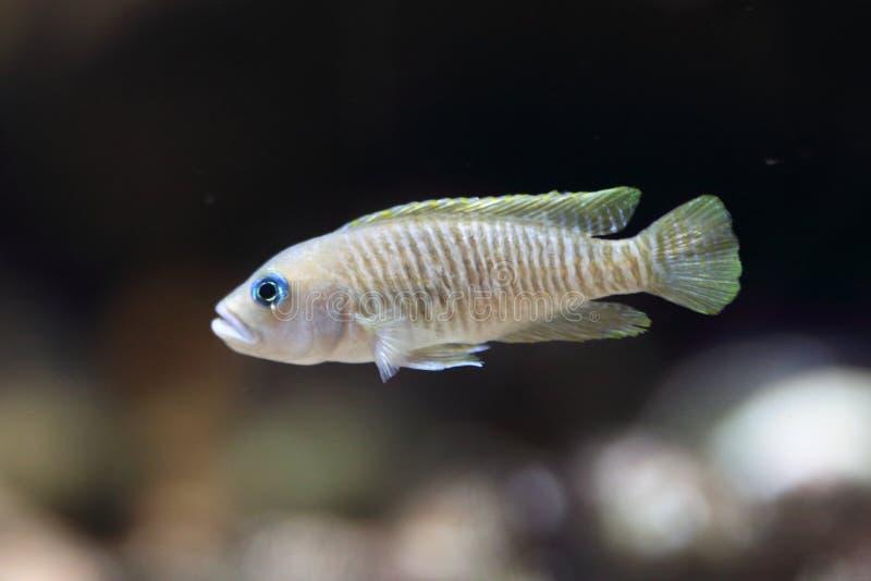 蜗牛丽鱼科鱼 库存图片