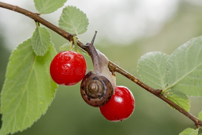 蜗牛和毛毡樱桃 免版税图库摄影