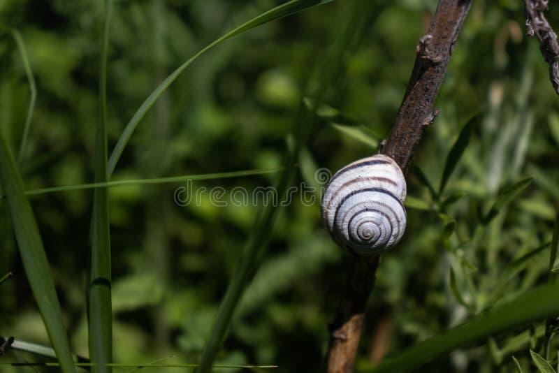 蜗牛在一个干燥分支睡觉 库存图片