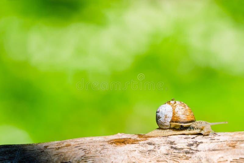 蜗牛在一个森林里春天 免版税图库摄影