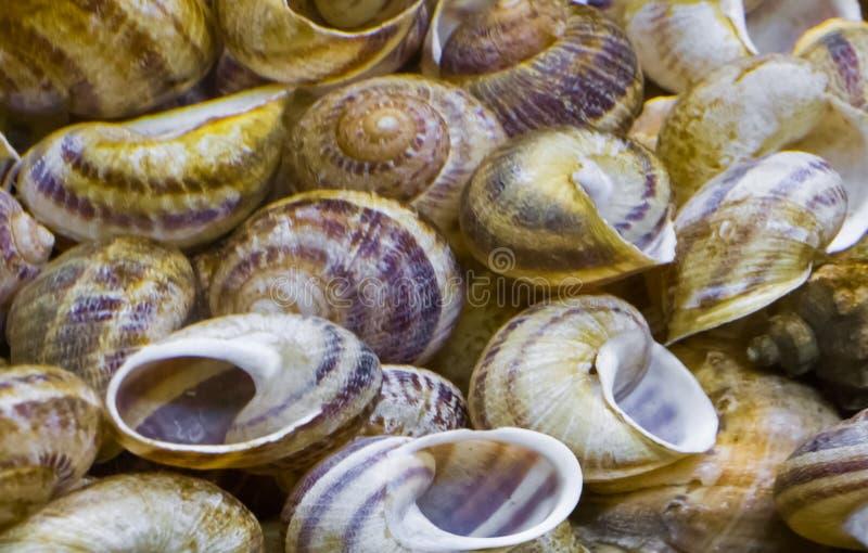 蜗牛在宏观特写镜头、自然夏天背景或者水族馆装饰的房子壳 免版税库存图片