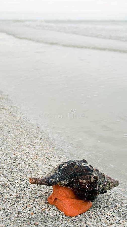 蜗牛峨螺 库存照片
