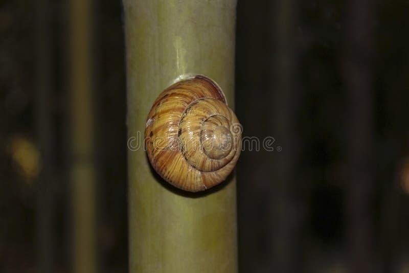 蜗牛沿竹树干爬行 库存照片