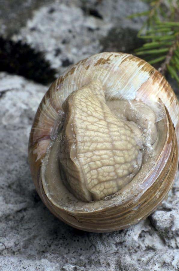 蜗牛特写镜头 图库摄影
