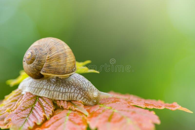 蜗牛缓慢爬行在叶子,关闭被隔绝 免版税库存图片