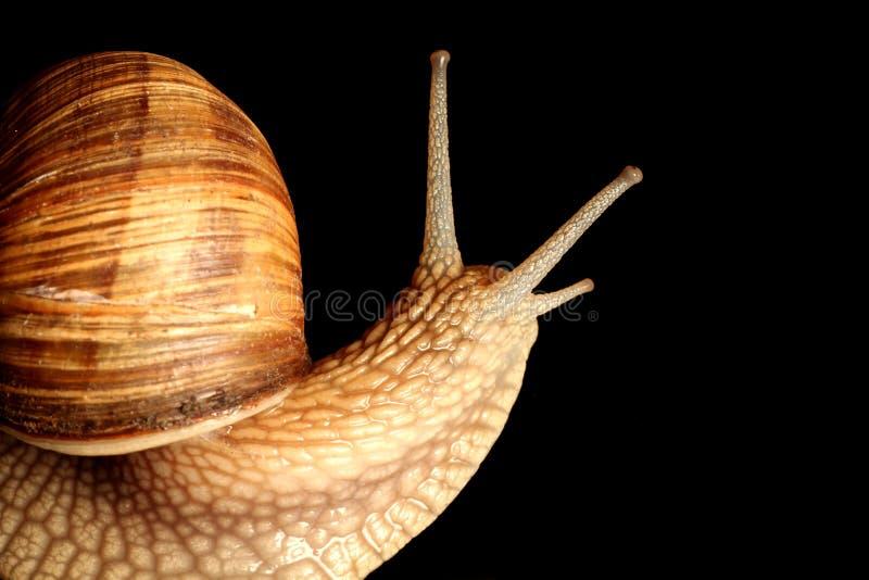 蜗牛触手 免版税图库摄影