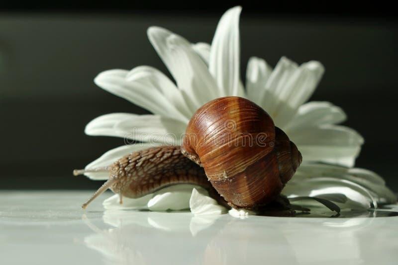 蜗牛试穿从春黄菊的花的一件礼服 图库摄影