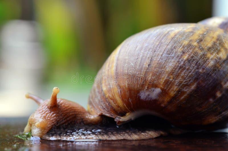 蜗牛滑在木板材(选择聚焦)的特写镜头视图 免版税库存照片