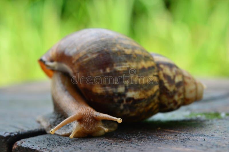 蜗牛滑在木板材(选择聚焦)的特写镜头视图 免版税图库摄影