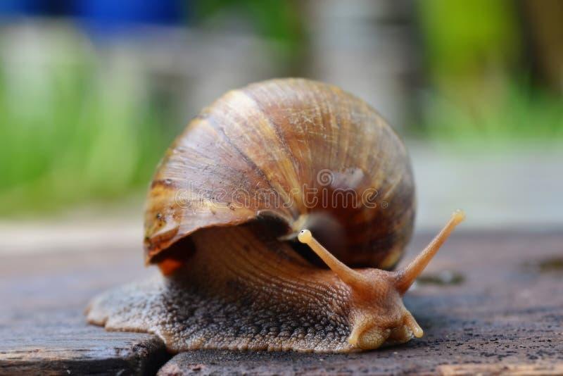 蜗牛滑在木板材(选择聚焦)的特写镜头视图 库存照片