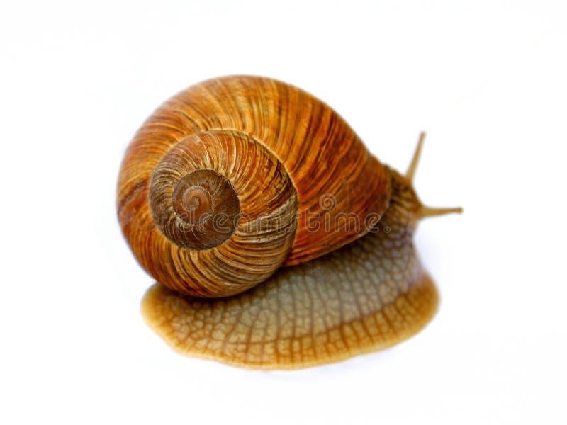 Download 蜗牛 库存照片. 图片 包括有 天线, 蜗牛, 本质, 螺旋, 无脊椎, 软体动物, 关闭, 软泥, 庭院 - 30338416