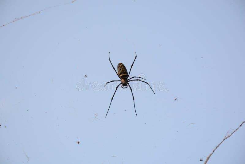 蜘蛛传播了诱饵陷井 图库摄影