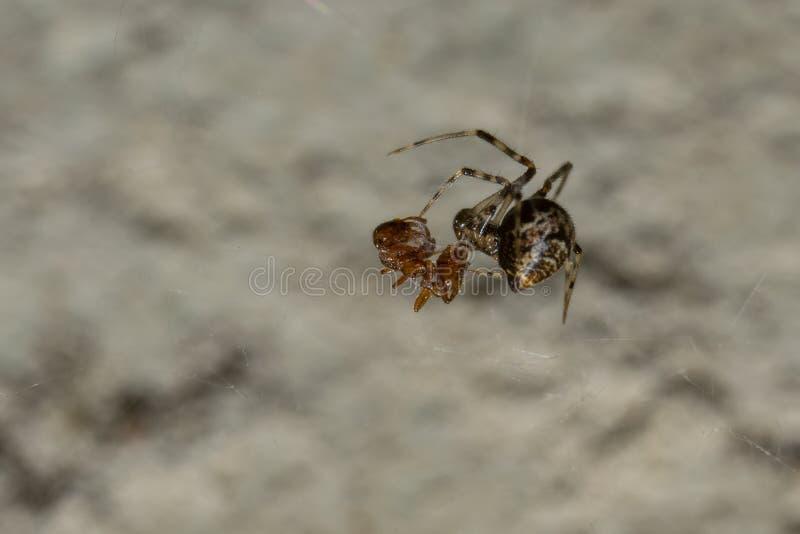 蜘蛛吃午餐 免版税库存图片