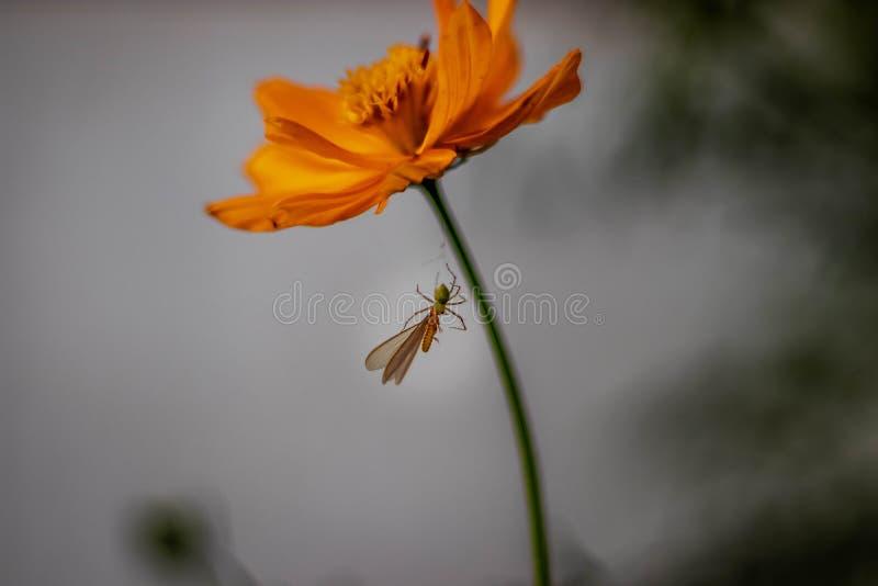 蜘蛛吃蝴蝶自然行动 免版税库存照片