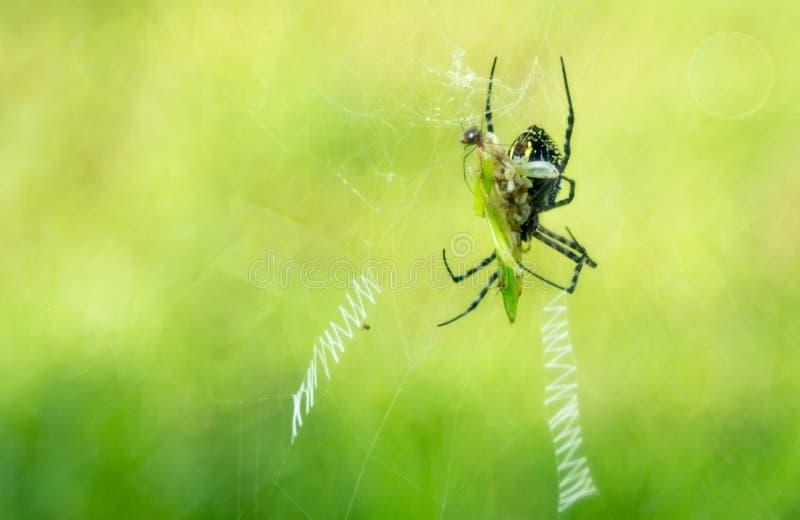 蜘蛛和蜘蛛石楠有蚂蚱作为早餐 免版税库存图片