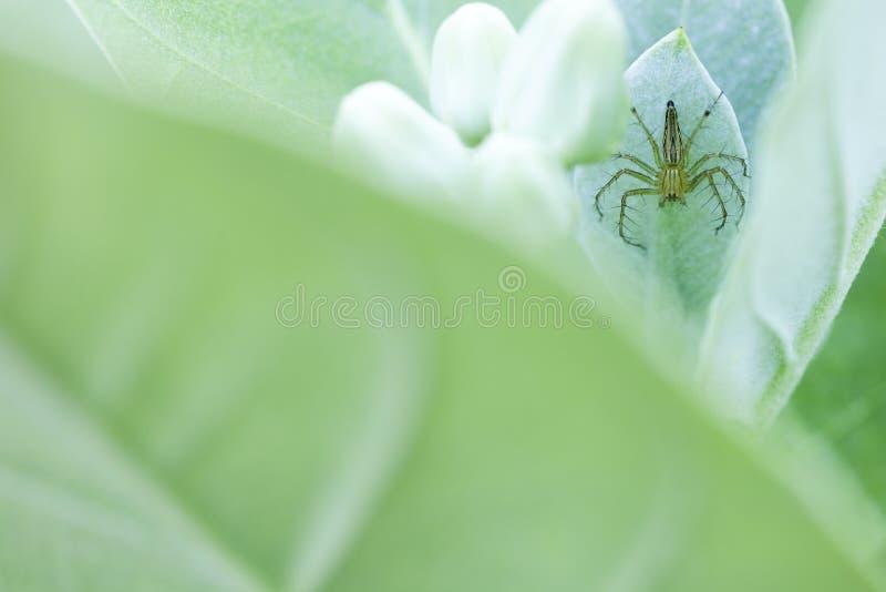 蜘蛛在叶子 免版税库存照片