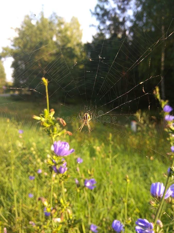 蜘蛛在夏天早晨森林里 免版税库存图片