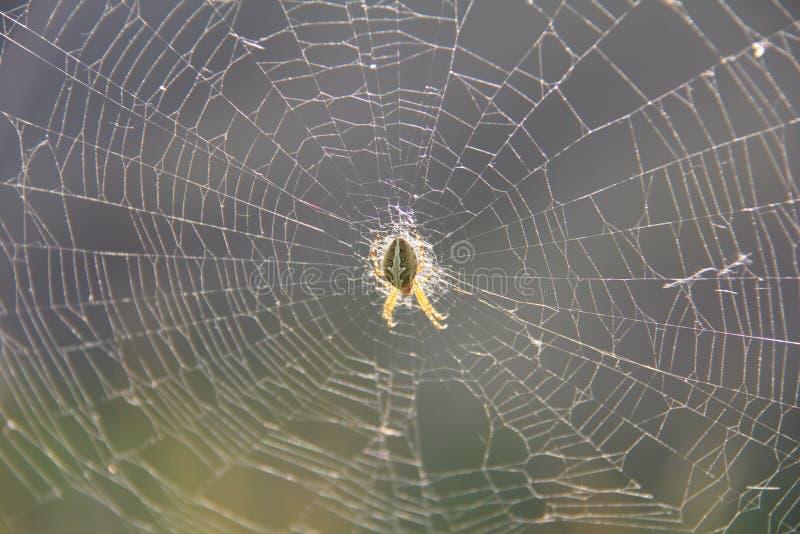 蜘蛛在网的中心 免版税图库摄影