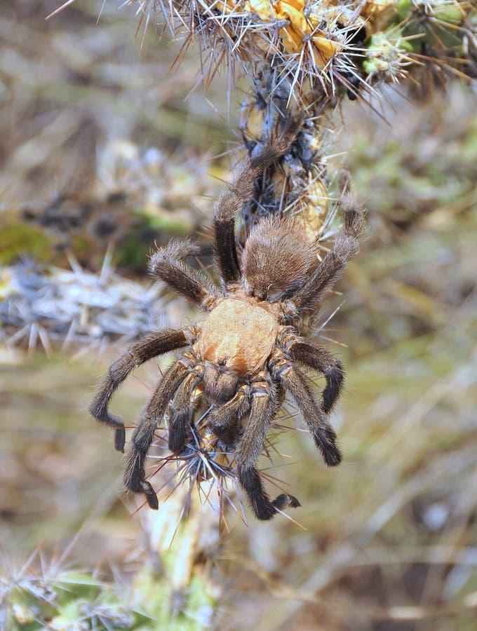 蜘蛛塔兰图拉毒蛛 库存图片