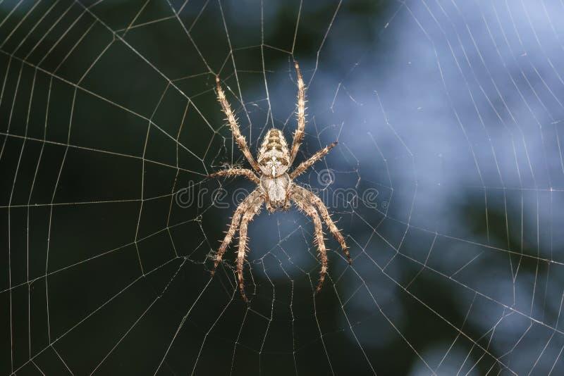 蜘蛛庭院蜘蛛拉特 天体网蜘蛛Araneidae家庭的Araneus亲切的araneomorph蜘蛛坐网 库存照片