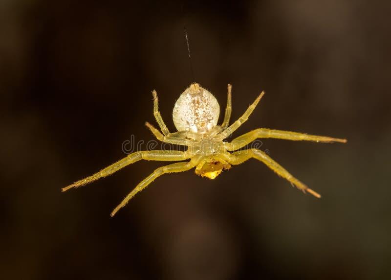 蜘蛛挂掉电话从网极端关闭-腹部视图的Thomisus 免版税库存照片