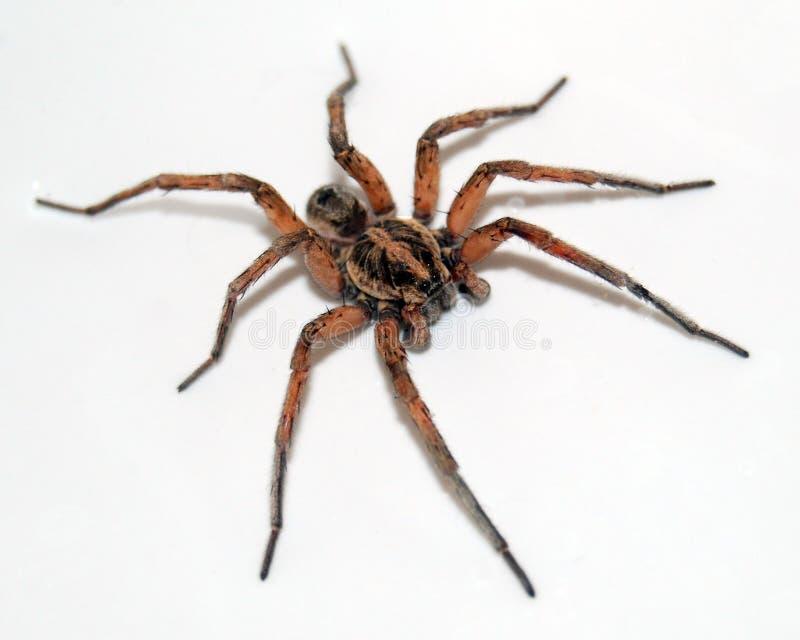 蜘蛛狼 免版税库存图片