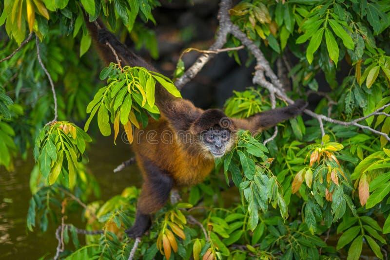 蜘蛛猴在尼加拉瓜 免版税库存图片