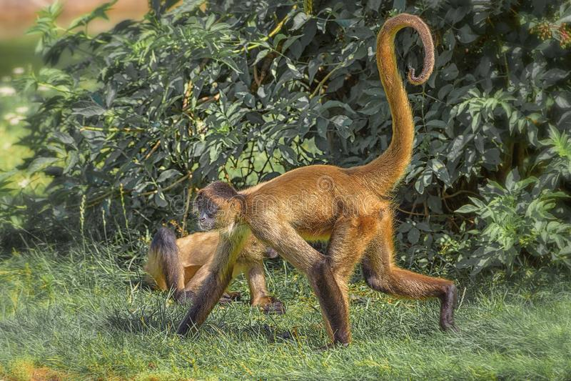 蜘蛛猴是属于类蛛猴属,一部分的新的世界猴子的子族Atelinae,家庭Atelidae 库存照片