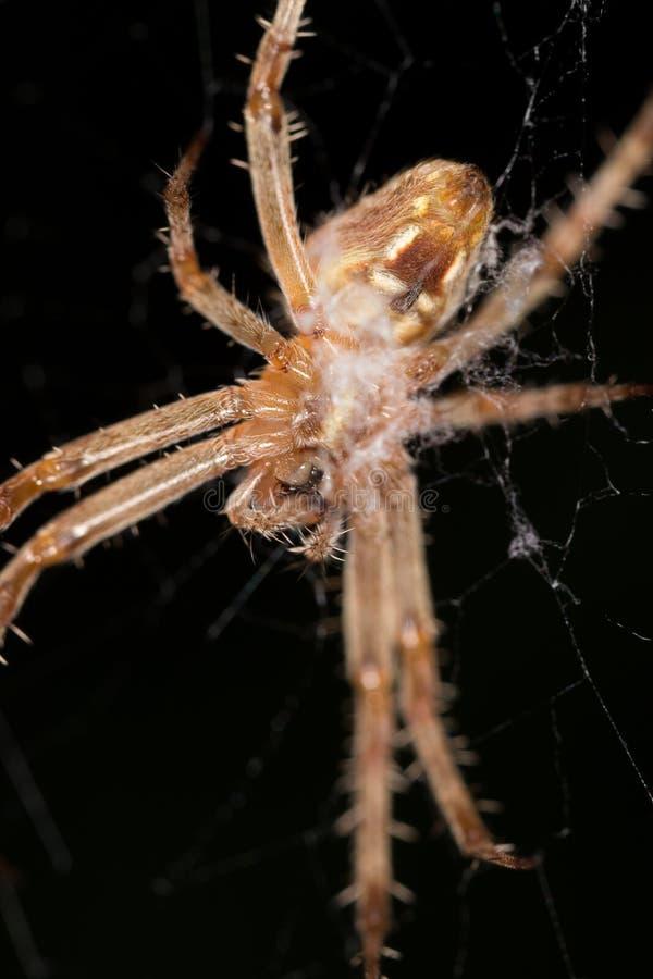 蜘蛛的画象 关闭 库存图片