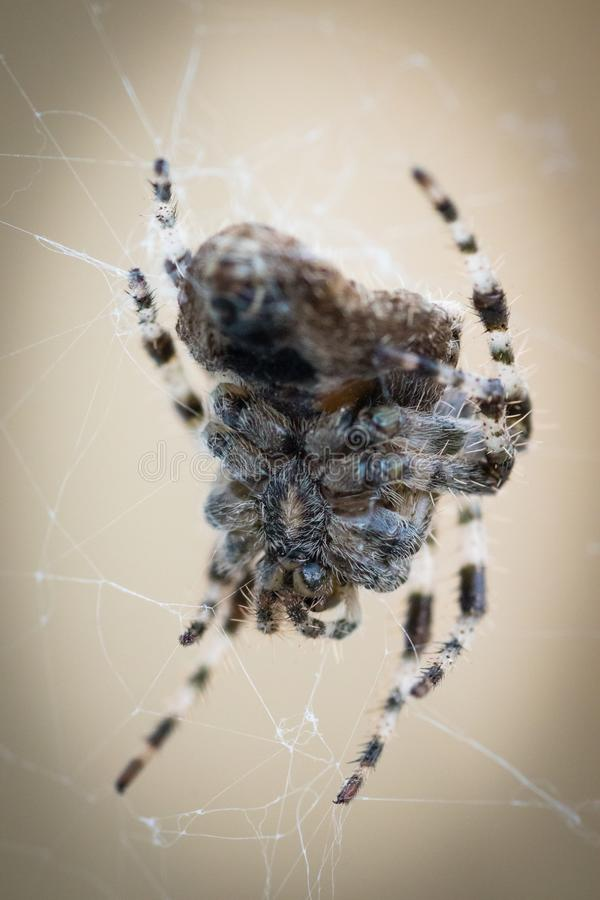蜘蛛的腹部 免版税库存照片