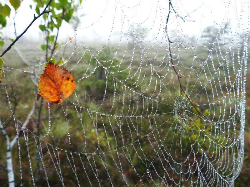 蜘蛛网和桦树生叶与早晨露水,立陶宛 免版税库存照片