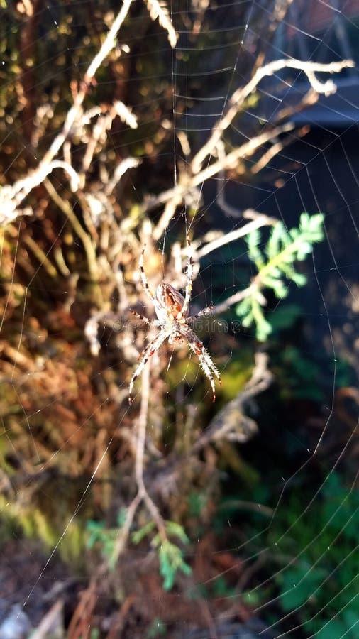 蜘蛛,网在雨中 库存图片