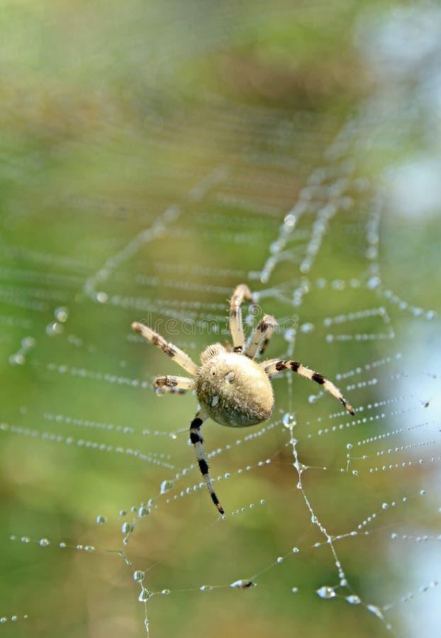 蜘蛛 库存图片