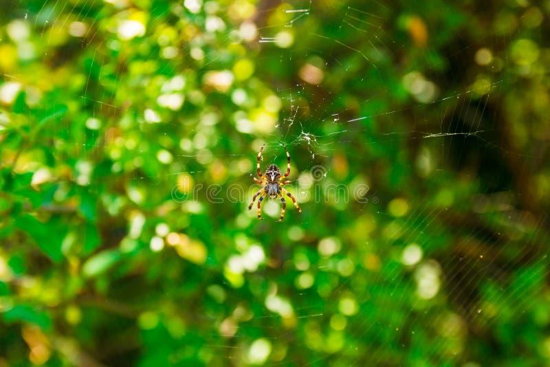 蜘蛛Araneus和网在黑莓灌木上在黑山的山 免版税图库摄影
