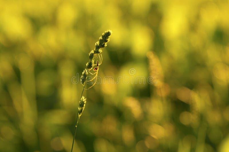 蜘蛛tetragnatha剪影在一个绿色词根的 免版税库存图片